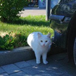 Pauluse valge kass