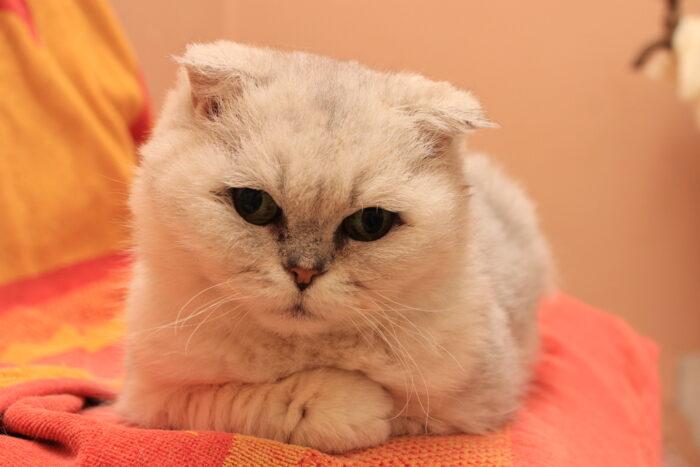 Miks valida täiskasvanud või vanem kass?